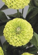 Benary's Giant Lime (Zinnia)