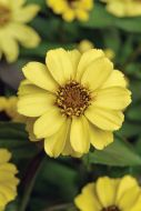 Zahara Yellow (Zinnia/dwarf/single)