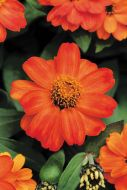 Zahara Fire (Zinnia/dwarf/single)