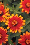 Zahara Sunburst (Zinnia/dwarf/single)