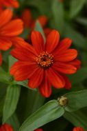 Zahara Red (Zinnia/dwarf/single)