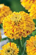 Pop Art Golden & Red (Zinnia/novelty)