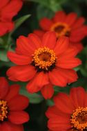 Zahara Fire (Zinnia/tall)