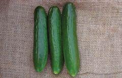 Perseus (Cucumber/slicing/Beit Alpha Type)