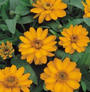 Profusion Double Golden (Zinnia)