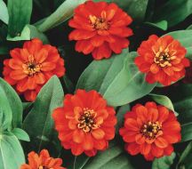 Profusion Double Fire (Zinnia)