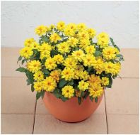 Profusion Double Yellow (Zinnia)