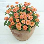 Profusion Double Deep Salmon (Zinnia)