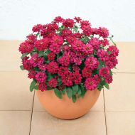 Profusion Double Hot Cherry (Zinnia)