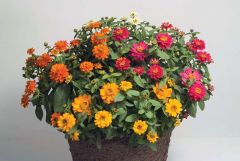 Profusion Double Mix (Zinnia)