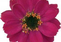 Profusion Cherry (Zinnia)