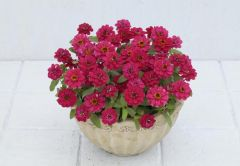 Profusion Double Cherry (Zinnia)