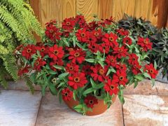 Profusion Red (Zinnia)