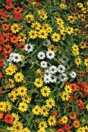 Profusion Mix (Zinnia)