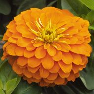 Magellan Orange (Zinnia)