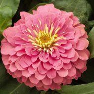 Magellan Pink (Zinnia)