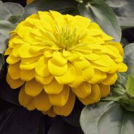 Magellan Yellow (Zinnia)