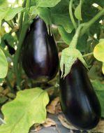 USAEGX 995 (Eggplant/hybrid)