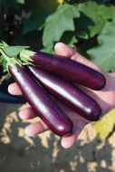 Purple Fingers (Eggplant/O/P)