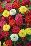 Double Zahara Mix (Zinnia)