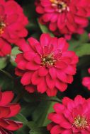 Double Zahara Cherry (Zinnia)