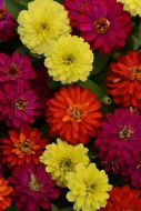 Double Zahara Brilliant Mix (Zinnia)
