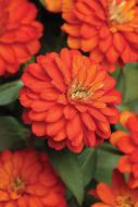 Double Zahara Fire (Zinnia)