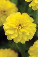 Double Zahara Yellow (Zinnia/double)
