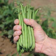 Colter (Green Bean Bush)
