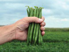 Lasalle (Green Beans Bush)