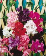Mammoth Series Mix (Sweet Pea)