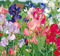 Early Multiflora Mix (Sweet Pea)
