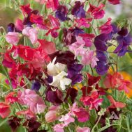 Heirloom Mix (Sweet Pea)