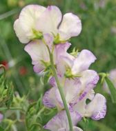 High Scent (Sweet Pea)