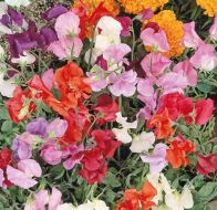Knee High Mix (Sweet Pea)
