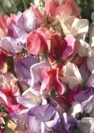 Incense Mix (Sweet Pea)