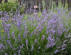 True Lavender (Perennial)