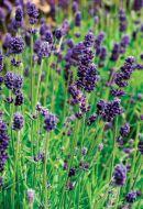 Lavance Deep Purple (Lavender/perennial)