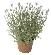 Scent™ White (Lavender/perennial)