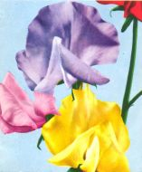 Royal Family Floribunda Mix (Sweet Pea)