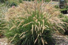 Fuzzy (Pennisetum/perennial)
