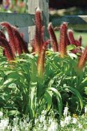 Jade Princess (Ornamental Millet)