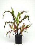 Zebra Pink (Novelty ornamental corn)