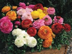 Magic Mix (Ranunculus)