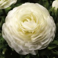 Magic White (Ranunculus)