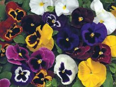 Mammoth™ Mix (Pansy)