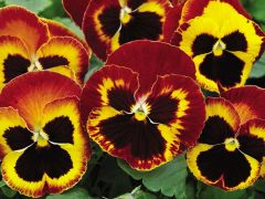 Mammoth™ On Fire (Pansy)
