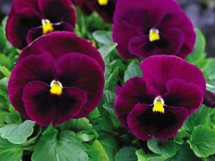 Mammoth™ Rocky Rose (Pansy)