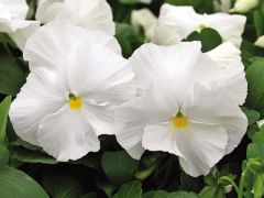 Mammoth™ White Hot (Pansy)