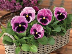 Mammoth™ Pink Berry (Pansy)